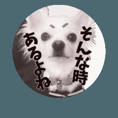 My チワワ♡ぽんやん 2