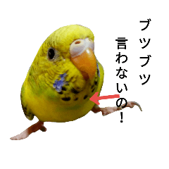 Talkative budgerigar family