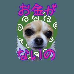 My チワワ♡ぽんやん 3