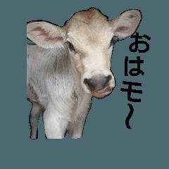 ミルクファームの牛と羊のダジャレ混じり
