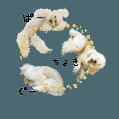 おうちプードルのジャン犬ポン