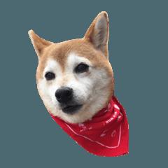 【柴犬】ココアのスタンプ